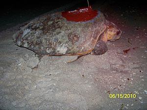 A loggerhead sea turtle is resting on the beach, with an antenna attached to its back.