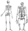 Human and gorilla skeleton