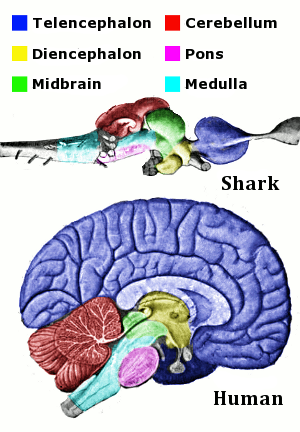 Corresponding regions of human and shark brain are shown. The shark brain is splayed out, while the human brain is more compact. The shark brain starts with the medulla, which is surrounded by various structures, and ends with the telencephalon. The cross-section of the human brain shows the medulla at the bottom surrounded by the same structures, with the telencephalon thickly coating the top of the brain.