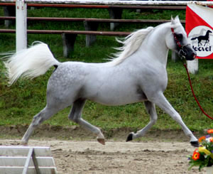 A light gray horse moving at a trot through an arena with all four feet off the ground. The tail is carried high and the neck is arched.