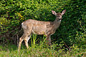 White-tailed deer at Marymoor Park.jpg