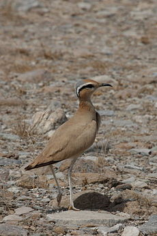 cream-colored courser camouflaged for the desert