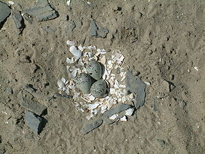 Three bluish eggs with black speckling sit atop a layer of white mollusk shell pieces, surrounded by sandy ground and small bits of bluish stone