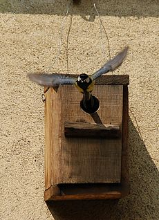 Great tit leaving its wooden nest box