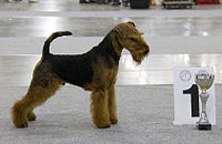 A red and black terrier-type dog stands next to a trophy and a large sign reading bearing the numeral one