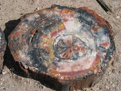 A sliced section of a petrified wood log showing exterior fossilized bark and black, white, red and yellow agate in the interior.