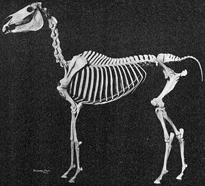 A defleshed skeleton of a horse put together in a standing position.