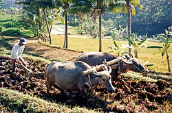 Ploughing rice paddies with water buffalo, in Indonesia.