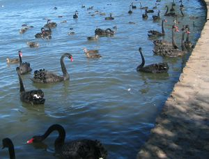 Large number of black swans and much smaller black ducks close to the lake shore.