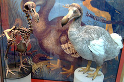 Skeleton and model of a dodo