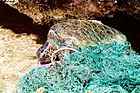 Turtle entangled in marine debris (ghost net).jpg
