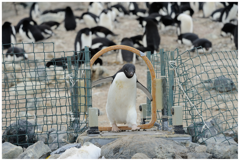 File:Automated weighbridge for Adélie penguins - journal.pone.0085291.g002.png