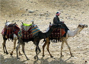 Three camels in a line: a person rides on the leading camel.