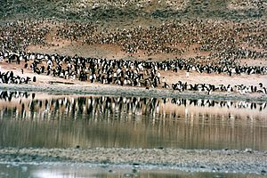A shoreline, on which thousands of penguins are congregated in groups