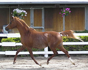A trotting horse with dark reddish-brown coloring on the neck, upper back, chest and legs, but white hair on the middle of the body and at base of the tail.