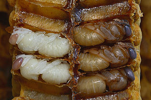 White and brown pupae filling cells