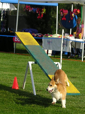 A short-legged, long-bodied, tan dog jumping off the end of a see-saw.