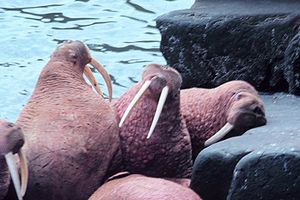 Photo of five walruses on rocky shore