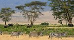 A family of zebras walking through a plain, with four elephants and a few trees wandering in the background.