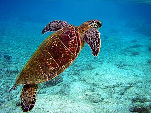 Photo of turtle swimming towards surface with diver in background