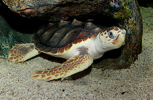 A loggerhead sea turtle resting under a rock with its eyes open