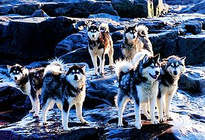 A group of eight dogs, all with thich fur, pointed ears and sharp snouts, standing on rocks covered with a light snowfall