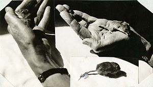 "Photographs of ""Bobbity"", a Perognathus pacificus (pocket mouse) - cropped.jpg"