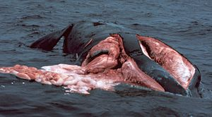 A right whale sliced on both sides after colliding with a boat. A large amount of its flesh is visible as well as the intestines floating in the water