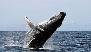 Photo of whale with head in the air and two-thirds of its body out of the water, falling onto its back