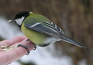 adult great tit perched on hand