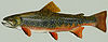 Brook trout.jpg
