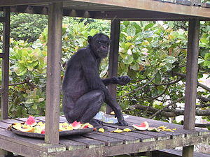 62-year-old chimpanzee
