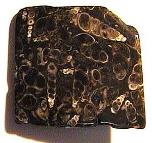 "An irregular dark stone with a flat polished front; many white fragments of elongated, spiral, ""corkscrew"" shells seem to float in the dark stone"