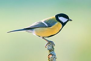 Great tit with strongly yellow sides perched on twig