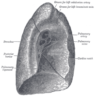 The left lung