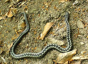 A slender adder lies in a half circle on the bare soil which has a few dried leaves. The black zig-zag pattern along the dorsal spine of the snake contrasts against the white borders forming a pattern resembling the teeth of an open zip.
