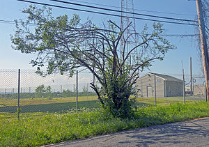 A tall bush with spreading branches on the side of a road in front of the viewer. Behind it is a chainlink fence and a large shadow on the ground; an antenna tower is in the background. Above it are utility wires; part of a wooden pole supporting them is on the right.