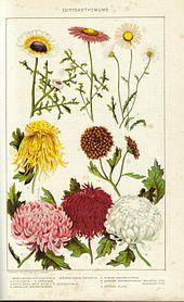 chrysanthemum john steinbeck pdf