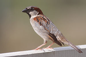 small sparrow with pale belly and breast and patterned wing and head