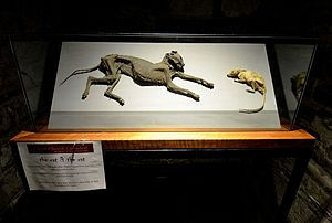 A glass display case containing the mummified remains of a cat and a rat facing each other.